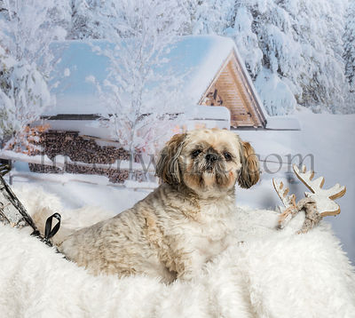 Lhasa apso sitting on fur rug in winter landscape