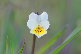 Detailed closeup of a fragile looking yellow white wildflower, the field pansy or Viola arvensis