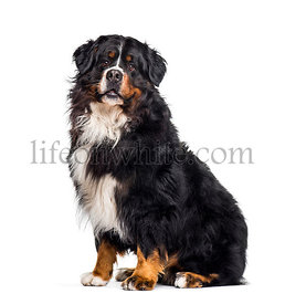 Bernese Mountain Dog sitting against white background