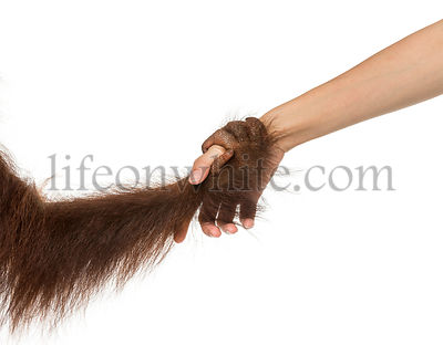 Close-up of a young Bornean orangutan\'s hand holding a human hand, Pongo pygmaeus, 18 months old, isolated on white