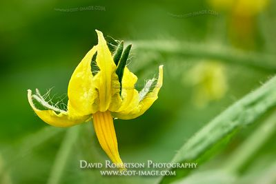 Prints & Stock Image - Tomato plant flowers