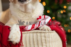Close up of a stuffed toy candy cane with a dog in front of Christmas lights