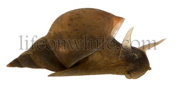 Great pond snail, Lymnaea stagnalis, a species of freshwater snail, in front of white background