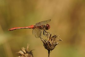 Closeup of the Ruddy darter dragonfly ,  Sympetrum sanguineum , sitting on a dried out flowerhead