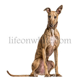 Whippet sitting and looking at the camera, isolated on white