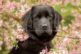 Newfoundland dog in pink spring flowers