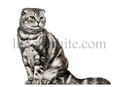 Scottish Fold, sitting and looking away from camera