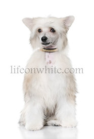 groomed Chinese Crested Dog sitting - Powderpuff (6 month old)