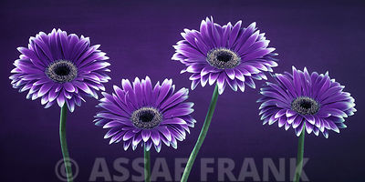 FTBR 1321 Gerbera Purple