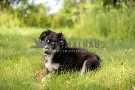An australian shepherd laying in the grass