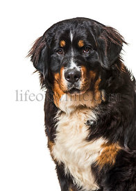 Bernese mountain dog against white background