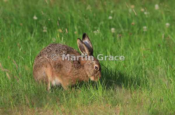 European Brown Hare (Lepus europaeus) with eyelid hooded in low sunshine in a meadow, Cairngorm National Park, Scotland