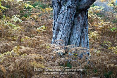 Image - Scots pine tree trunk in bracken.  Autumn in the Beinn Eighe National Nature Reserve, near Kinlochewe, Wester Ross, H...
