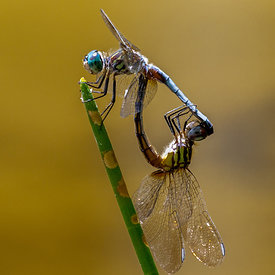 Drekafluga_-_Dragonfly_reproduction_-_emm.is