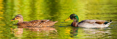 Couple de Canards colverts nageant sur un lac