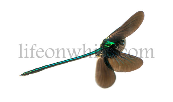 Beautiful Demoiselle flying, Calopteryx virgo, isolated on white