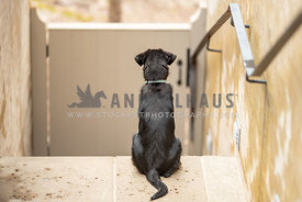 backside of mixed breed puppy sitting at top of steps looking away