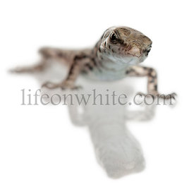 Wall lizard, Podarcis muralis, in front of white background