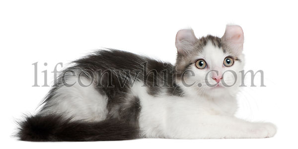 American Curl Kitten, 13 weeks old, lying in front of white background