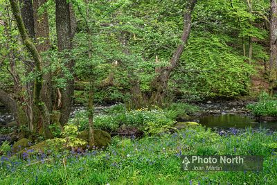 RYDAL 17A - Springtime, Baneriggs Wood