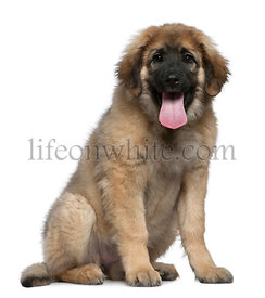Leonberger, 4 months old, sitting in front of white background