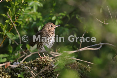 Song Thrush (Turdus philomelos) seen through vegetation standing on a limestone garden wall, Lake District National Park, Cum...