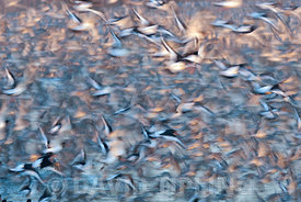 Red Knot Calidris canutus and Oystercatchers leaving high tide roost at Snettisham RSPB Reserve The Wash Norfolk November
