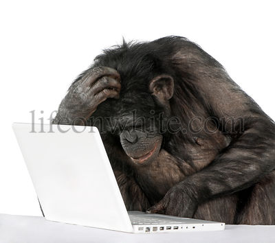 Chimpanzee playing with a laptop