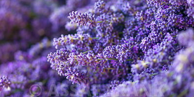 Lavender flowers full frame