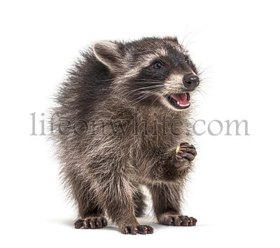 young raccoon, eating mouth open, isolated
