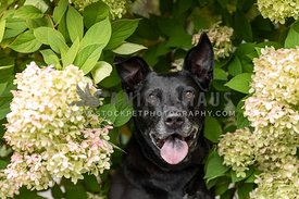 A black dog surrounded by hydrangea flowers