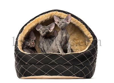 Peterbald in a pet basket