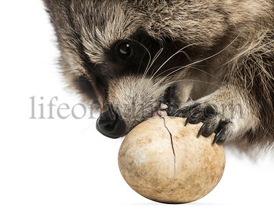 Close-up of a Raccoon, Procyon Iotor, eating an egg, isolated on white