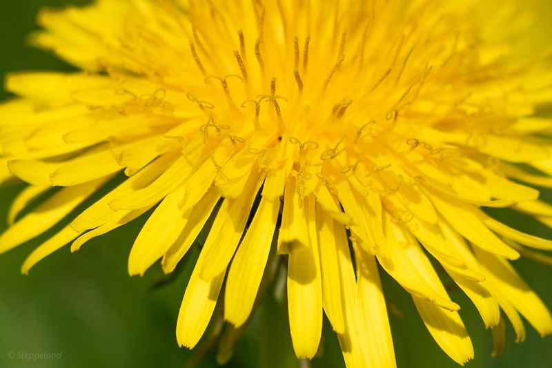 Fascinating details in the dandelion heart