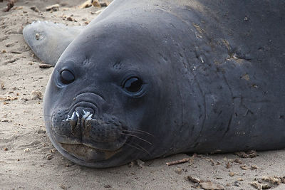 Female southern elephant seal (Mirounga leonina) resting in the sand on the Peninsula Valdes, Argentina.