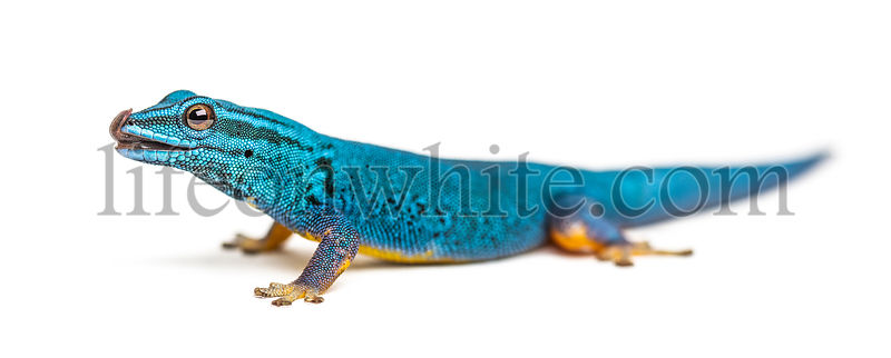 Electric blue gecko licking its lips, Lygodactylus williamsi, isolated