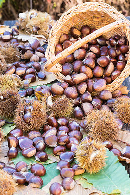 Castanea sativa-Harvesting chestnuts in a wicker basket-France, autumn