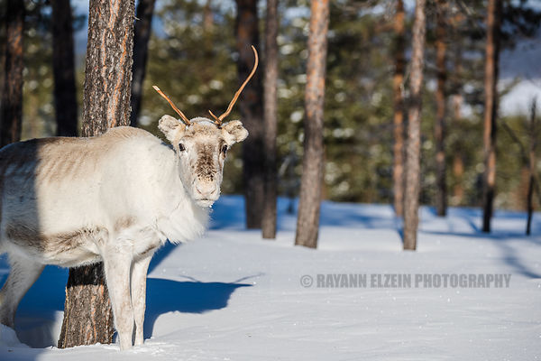 Light coloured reindeer in the forest of Finnish Lapland on sparkling snow
