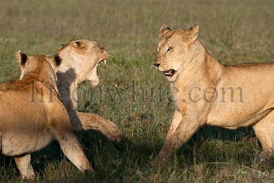 Lioness playing together at the Serengeti National Park, Tanzania, Africa