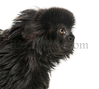Close-up of a Goeldi\'s marmoset profile, Callimico goeldii, 7 years old, isolated on white