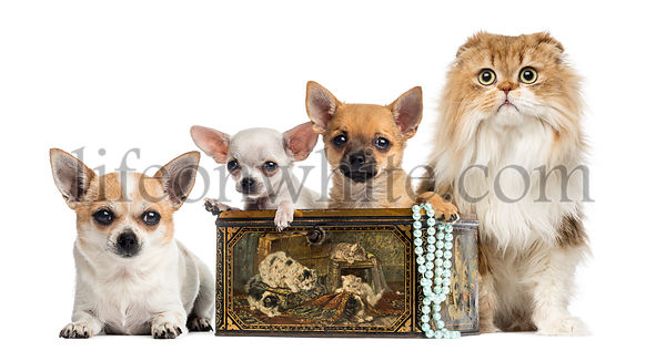 Group of Chihuahuas in a vintage box with Highland fold, isolated on white