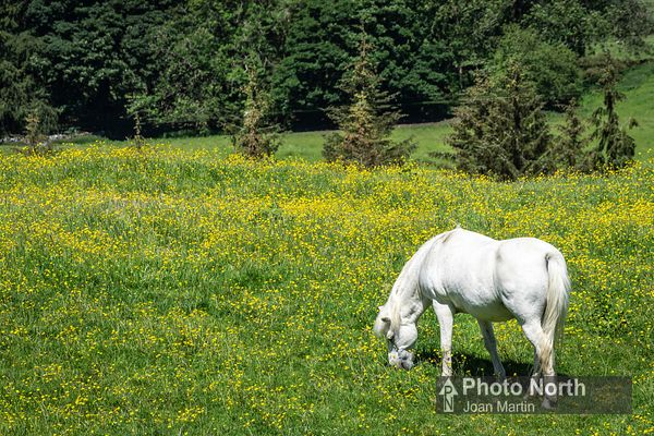 CHAPEL-LE-DALE 24A - White horse in buttercup meadow