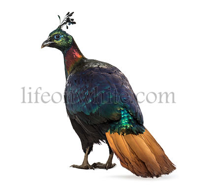 Himalayan monal, Lophophorus impejanus, also known as the Impeyan monal and Impeyan pheasant standing against white background
