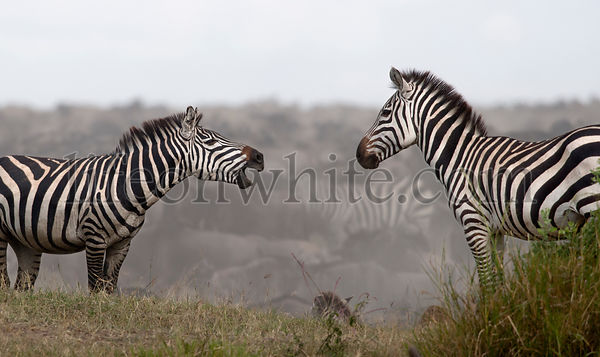 Zebras at the Serengeti National Park, Tanzania, Africa