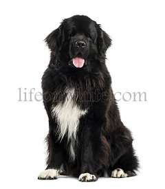 Newfoundland sittind, 3 years old, isolated on white