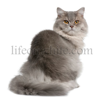 British Longhair Cat, 1 year old, sitting in front of white background
