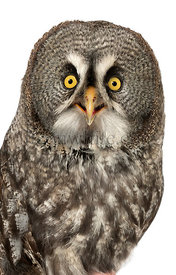 Close-up of a Great Gray Owl looking at the camera, Strix nebulosa, isolated on white