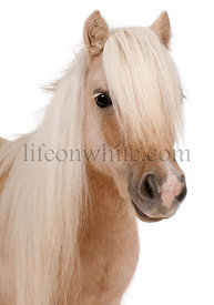 Palomino Shetland pony, Equus caballus, 3 years old, in front of white background