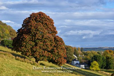 Prints & Stock Image - Maple tree in early autumn above Blairlogie, Stirling, Scotland.