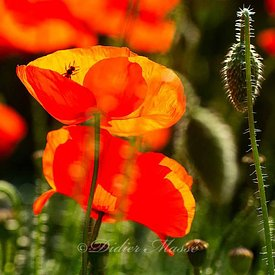 Coquelicots Ennery Val d'Oise 05/18